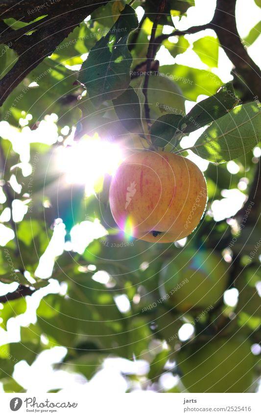 erntezeit Frucht Apfel Bioprodukte Sommer Herbst Schönes Wetter Pflanze Baum Blatt frisch Gesundheit glänzend natürlich gelb gold genießen Natur Vitamin