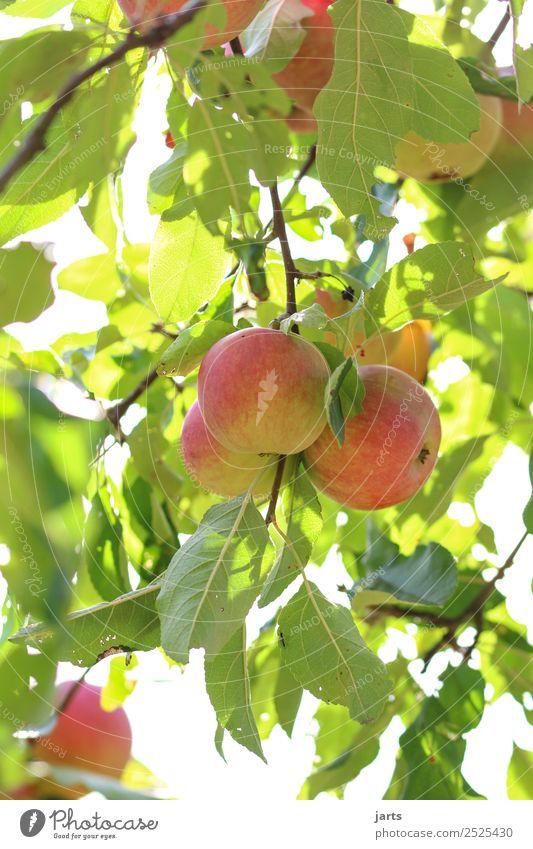 äpfel Frucht Apfel Pflanze Sommer Herbst Schönes Wetter Baum Blatt Nutzpflanze Feld frisch Gesundheit natürlich gold grün rot Natur Apfelbaum Farbfoto