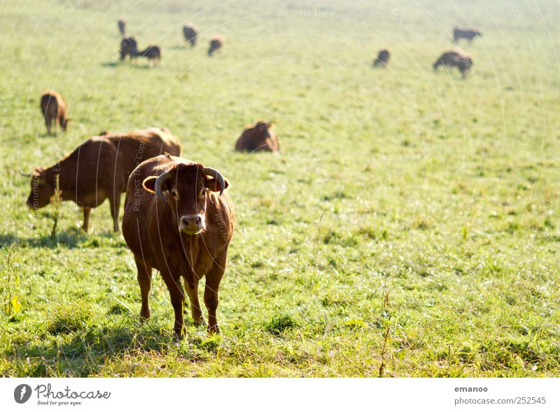 Leitkuh Natur Pflanze Tier Landschaft Gras Lebensmittel braun bedrohlich Tiergruppe Tiergesicht dick Kuh Horn Bioprodukte ökologisch Biologische Landwirtschaft