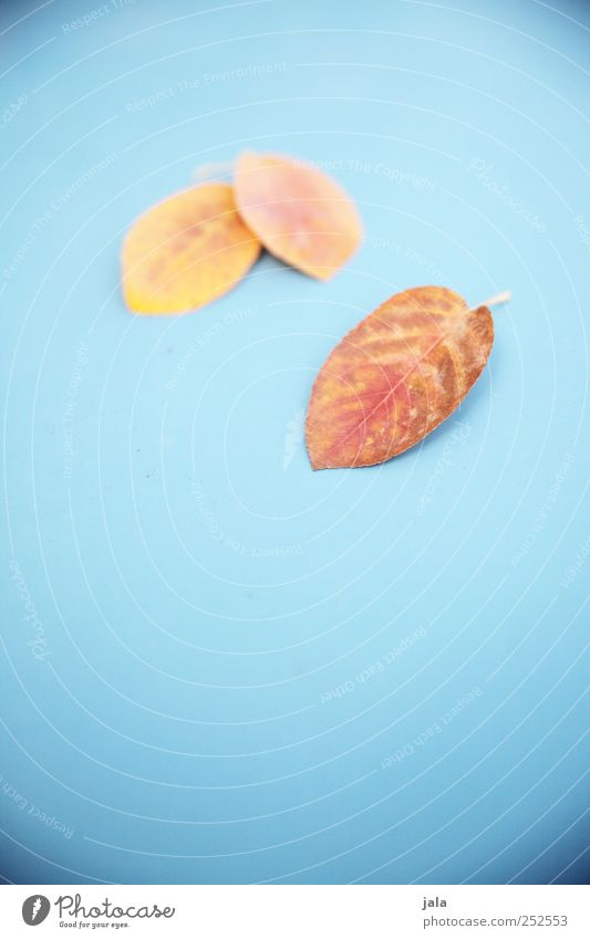 bissel herbst Natur blau Pflanze rot Blatt gelb Herbst ästhetisch