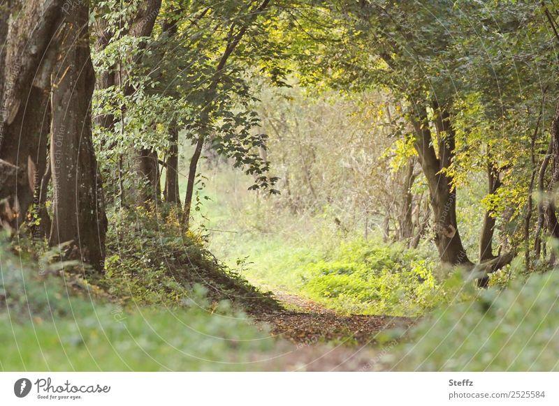 Waldweg ins Licht Umwelt Natur Landschaft Sommer Herbst Pflanze Baum Blatt Wildpflanze Waldpflanze Blätterdach Laubwald Laubbaum Fußweg Wege & Pfade gehen