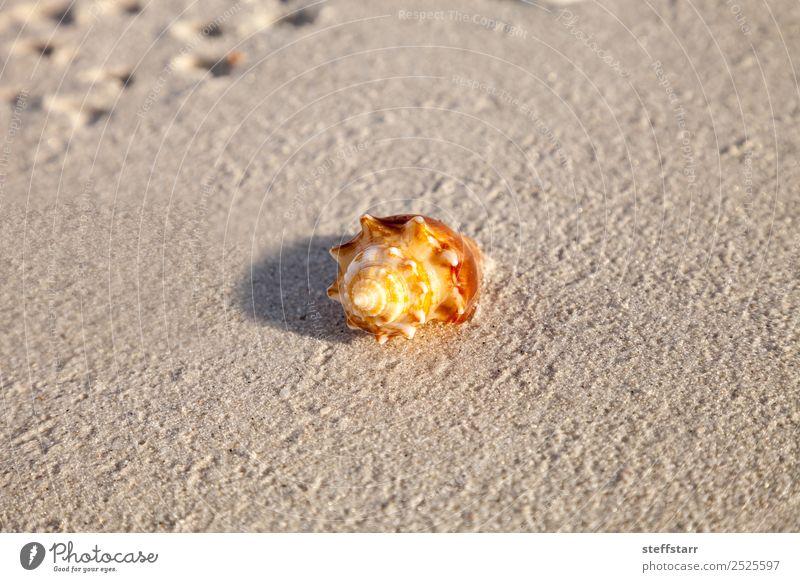 Sommer Meer Tier braun orange gold Wildtier Urwald Schnecke tropisch Panzer Weichtier Florida Meerestier nautisch Strandleben