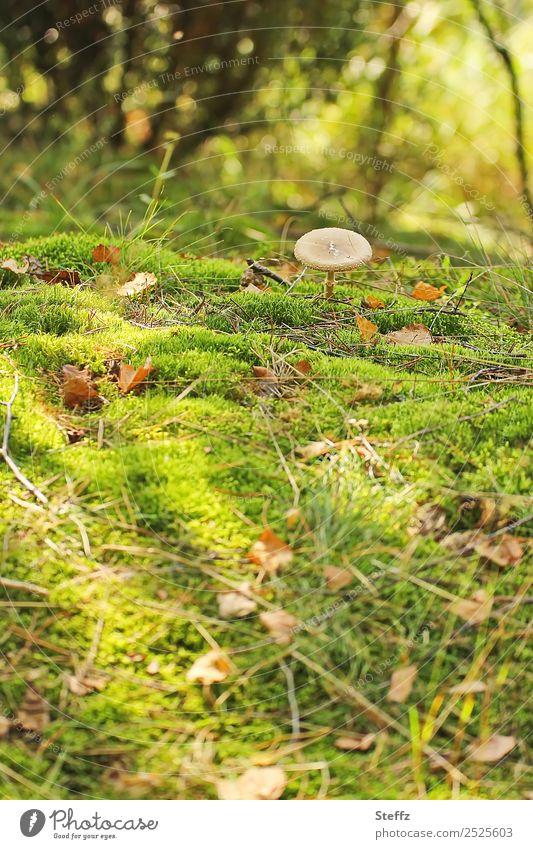 Pilzsuche Umwelt Natur Landschaft Herbst Pflanze Moos Wildpflanze Blatt Herbstlaub Pilzhut Wald Waldboden Herbstwald Wachstum schön braun gelb grün