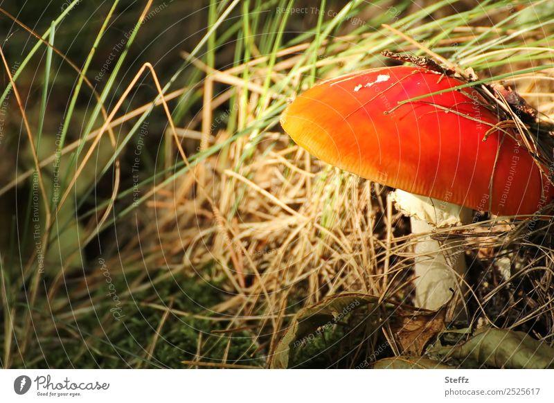 Rotkäppchen Fliegenpilz Pilz Pilzhut Amanita muscaria Gras Herbstlaub giftiger Pilz Waldboden Wachstum rot Waldstimmung Gift verstecken wachsen Versteck
