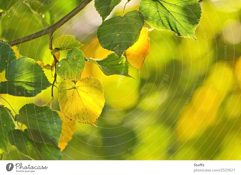 Spätsommer Umwelt Natur Pflanze Sommer Herbst Schönes Wetter Blatt Lindenblatt Zweig Zweige u. Äste Laubbaum Park Wald schön gelb grün Lichtstimmung