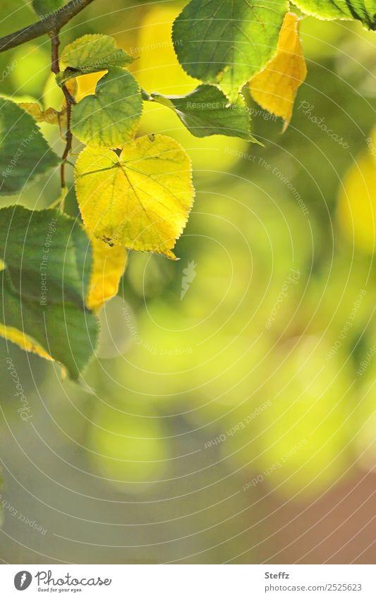 Sommerende Umwelt Natur Pflanze Herbst Blatt Lindenblatt Zweig Zweige u. Äste Laubbaum Herbstlaub Park Wald schön gelb grün Lichtstimmung Herbstgefühle