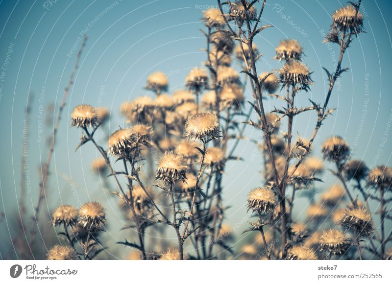 Saisonende Pflanze trocken blau braun welk Distel Herbst verblüht trist Gedeckte Farben Außenaufnahme Menschenleer Freisteller Sonnenlicht