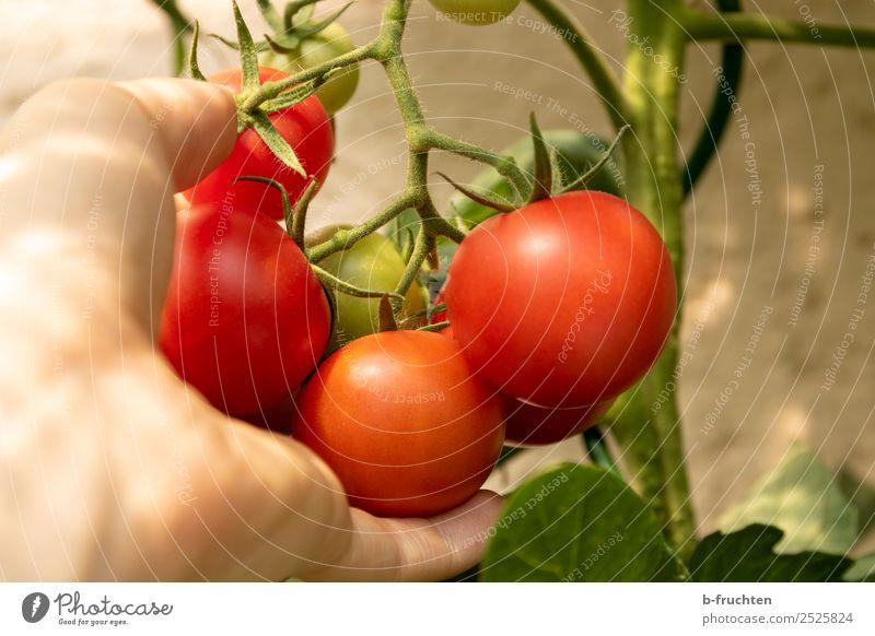 Reife Tomaten am Strauch Gesunde Ernährung Sommer Pflanze Hand rot Gesundheit Herbst Blüte Garten frisch Sträucher Finger beobachten festhalten Gemüse Ernte