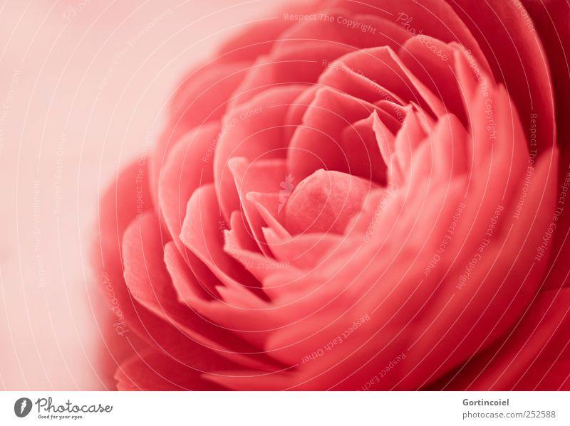 Kamelie Umwelt Natur Pflanze Blume Blüte schön rot Camellia japonica Blütenblatt Blütenpflanze Blühend Farbfoto Nahaufnahme Detailaufnahme Textfreiraum links