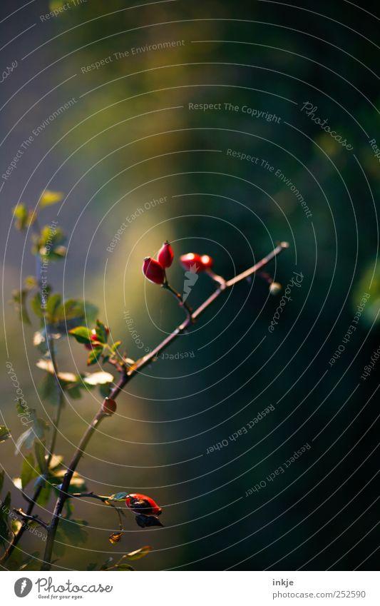 Hagebutte Natur Pflanze Herbst Sträucher Wildpflanze Hagebutten Hundsrose Park dünn klein lang nah natürlich schön wild blau braun mehrfarbig grün rot Stimmung