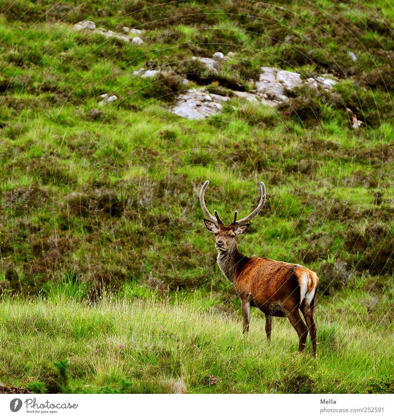Stolz Umwelt Natur Landschaft Tier Gras Wiese Hügel Felsen Berge u. Gebirge Wildtier Hirsche Rothirsch Bleßwild Horn 1 Blick stehen frei natürlich grün Freiheit