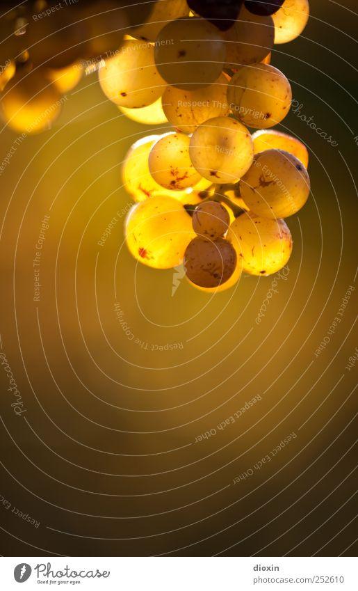 Pfälzer Gold Natur Pflanze Herbst Umwelt Wachstum süß leuchten Wein lecker Alkohol saftig Sekt Weintrauben Champagner Weinlese Nutzpflanze
