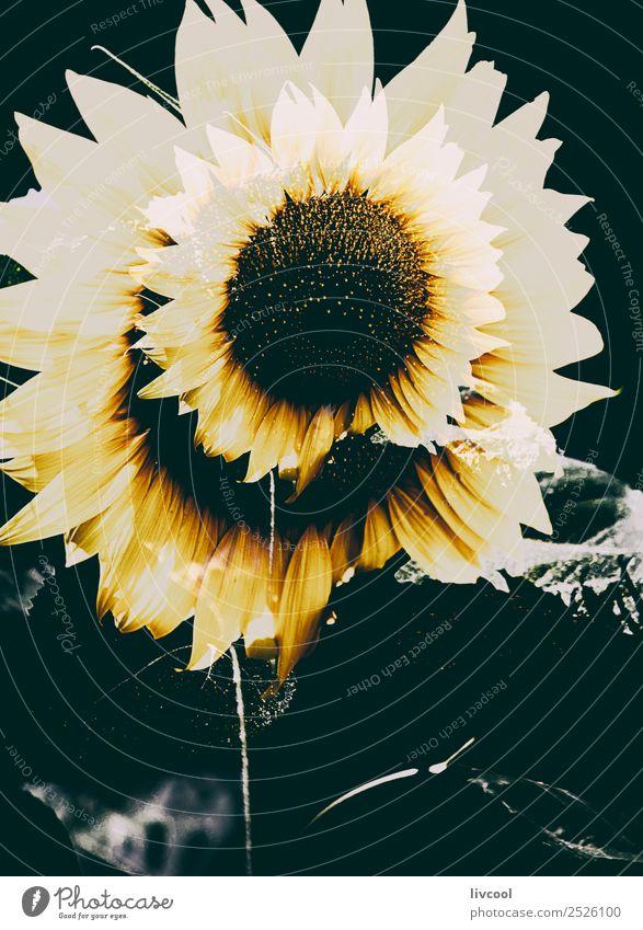 fantastische Sonnenblume Glück Sommer Landschaft Pflanze Wolken Blume Blatt Hügel Dorf schön gelb grün Coolness Feld August helianthus anuus Kalom Mirasol