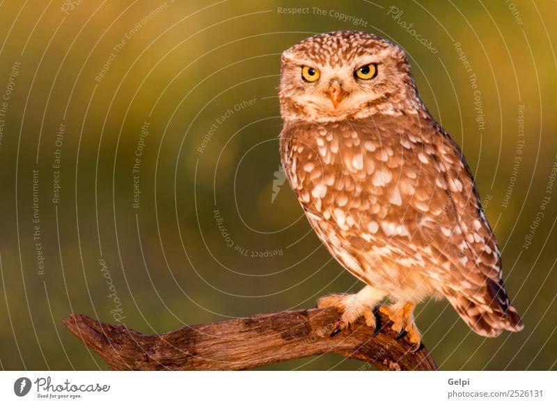 Süße Eule, kleiner Vogel mit großen Augen in der Natur schön Tier Wald Flügel lustig natürlich niedlich wild braun gelb gold grün schwarz weiß Tierwelt