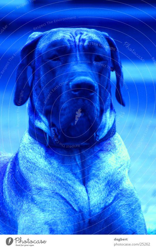 Blue Dog - Dt. Dogge in blau blau Hund Dogge Deutsche Dogge