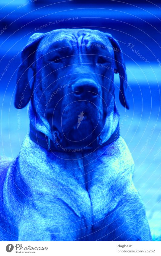 Blue Dog - Dt. Dogge in blau Hund Deutsche Dogge