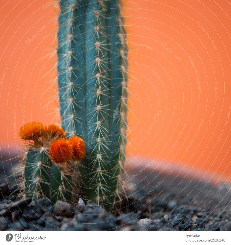 Kind-Mama-Kaktus Sommer Pflanze schön grün Wärme Blüte klein orange exotisch Stachel
