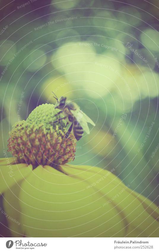 Fleißiges Bienchen. Umwelt Natur Pflanze Tier Sommer Blume Blüte Garten Park Wiese Wildtier Biene 1 Arbeit & Erwerbstätigkeit füttern gelb grün Frühlingsgefühle