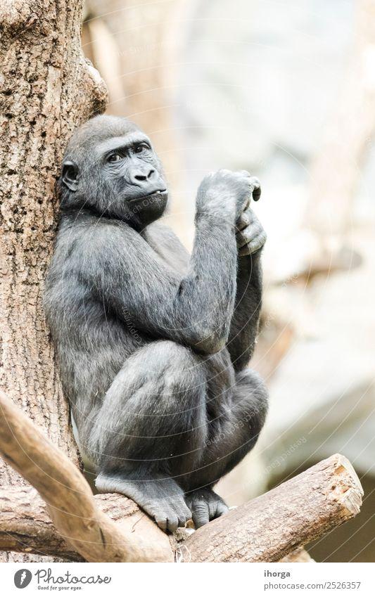 Gorilla auf einem Baum sitzend nachdenklich bei Tageslicht Gesicht Berge u. Gebirge Zoo Natur Tier Park Wald Urwald Pelzmantel Wildtier 1 natürlich stark wild