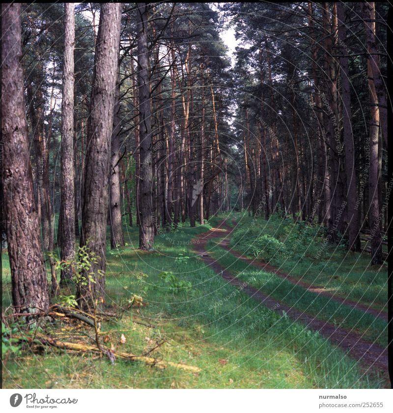Rotkäppchens Weg Natur Pflanze Baum Wald Verkehrswege Wege & Pfade Erholung natürlich braun grün Fichtenwald Nadelwald Farbfoto Gedeckte Farben Morgen Fußweg