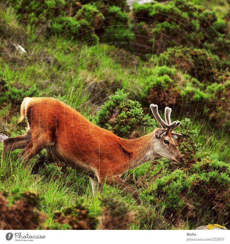 Steil bergab Umwelt Natur Tier Gras Sträucher Wiese Hügel Berge u. Gebirge Wildtier Hirsche Rothirsch Bleßwild Horn 1 gehen frei natürlich Freiheit Schottland