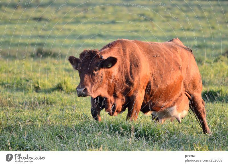 big berta Umwelt Natur Tier Wiese Feld Nutztier Kuh 1 stehen braun grün Landwirtschaft Weide Euter groß Rind Viehweide Viehzucht Farbfoto Außenaufnahme