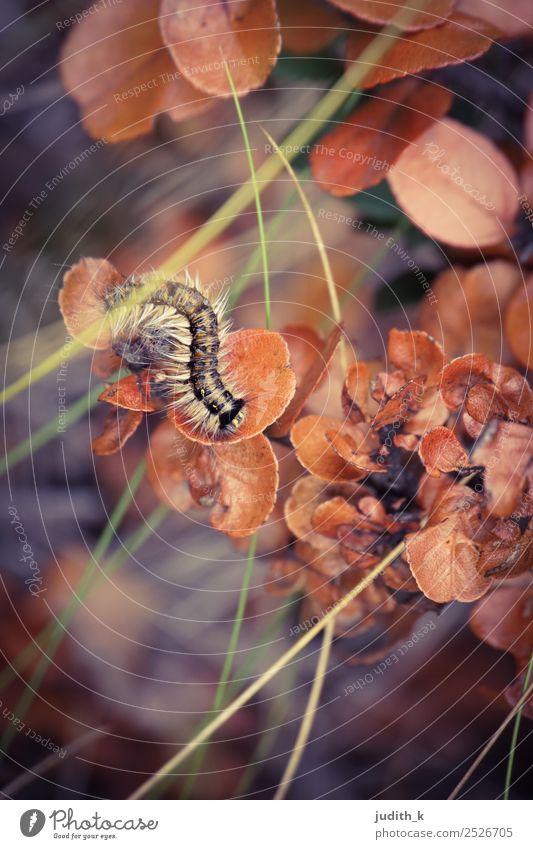 gestreifte Raupe im Herbst Umwelt Natur Pflanze Tier Erde Gras Sträucher exotisch Wiese Wald Wildtier 1 Bewegung krabbeln ästhetisch außergewöhnlich Coolness