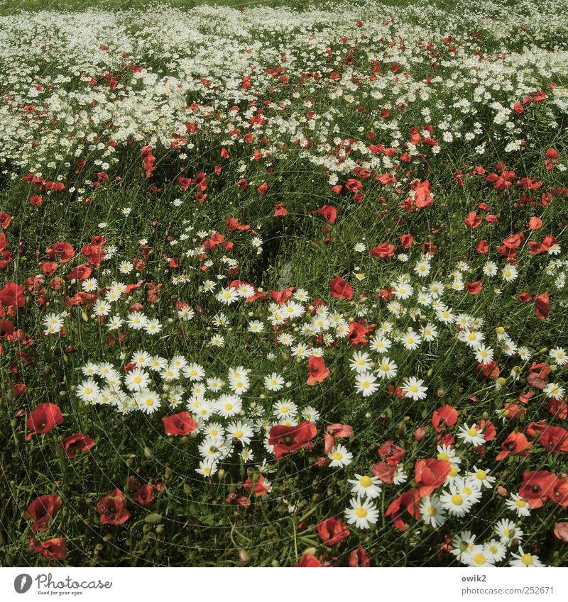 Blumenmeer Umwelt Natur Landschaft Pflanze Klima Schönes Wetter Wiese hell schön mehrfarbig Mohn Blumenwiese Farbfoto Gedeckte Farben Außenaufnahme