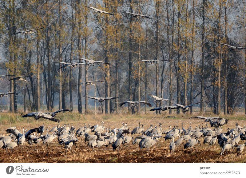 Kraniche Baum Feld Tier Wildtier Vogel Tiergruppe Schwarm fliegen blau grau viele Pappeln Fressen Brandenburg Flügel Farbfoto Außenaufnahme Menschenleer Abend