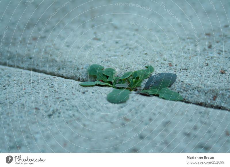 Löwenzahn Pflanze klein grün violett Kraft Terrasse Beton Betonplatte Fuge Strukturen & Formen Lebenskraft Natur unvermeidbar Wachstum Farbfoto Außenaufnahme
