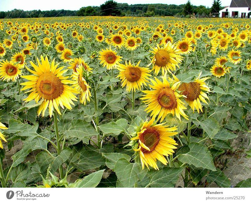 Sonnenblumen Sommer Umwelt Landwirtschaft Erneuerbare Energie Ölfrucht