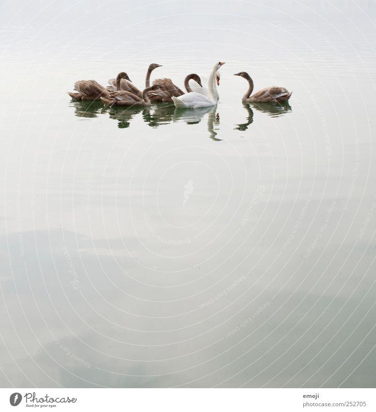 Schwanensee | Der Aussenseiter Wasser schlechtes Wetter Nebel See Tiergruppe Tierfamilie grau trist Traurigkeit Farbfoto Gedeckte Farben Außenaufnahme