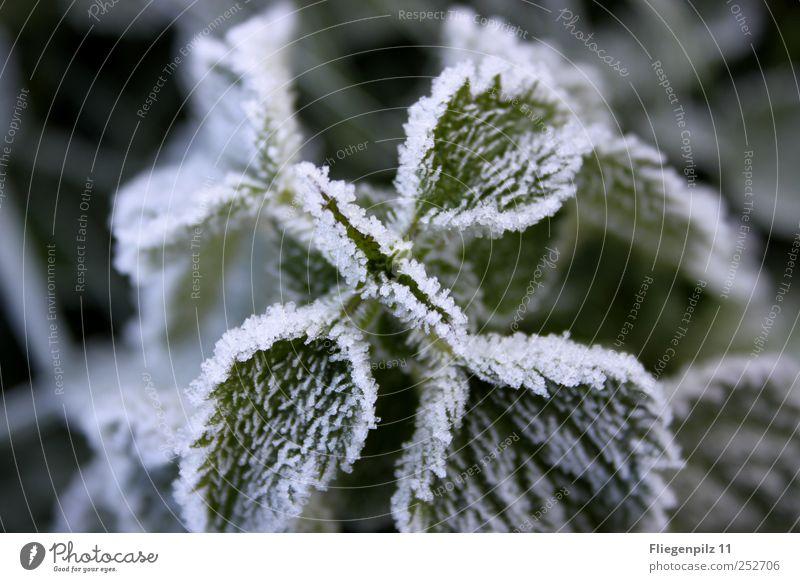 weißes Winterkleid Natur Herbst schlechtes Wetter Eis Frost Pflanze Gras Blatt Grünpflanze Nutzpflanze Blühend ruhig Brennnessel Brennnesselblatt grün Raureif