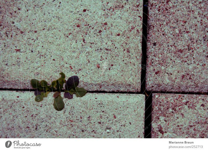 Durchkommen Pflanze Terrasse Wachstum mehrfarbig grün violett rosa Löwenzahn Betonplatte Fuge Kreuz Spalte Licht Schatten Lebenskraft durchdringen Natur