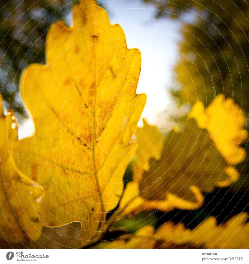 Herbst im Eichenwald Natur Landschaft Pflanze Himmel Sonne Klima Wetter Baum Blatt Garten alt dünn natürlich rund gelb Warmherzigkeit Eichenblatt Herbstlaub