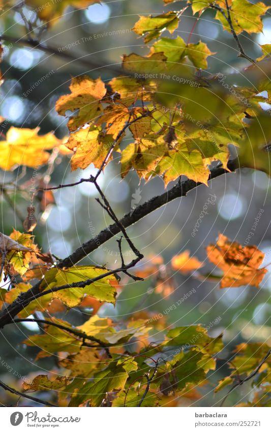 Autumn Leaves II Herbst Baum Blatt Herbstlaub fallen hängen leuchten dehydrieren hell gelb gold grün Stimmung Sehnsucht Natur Vergänglichkeit