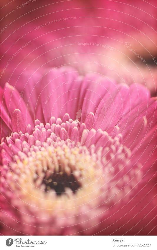 Alte Liebe Pflanze Blume Blüte rosa retro Romantik Blühend Valentinstag Gerbera Feste & Feiern