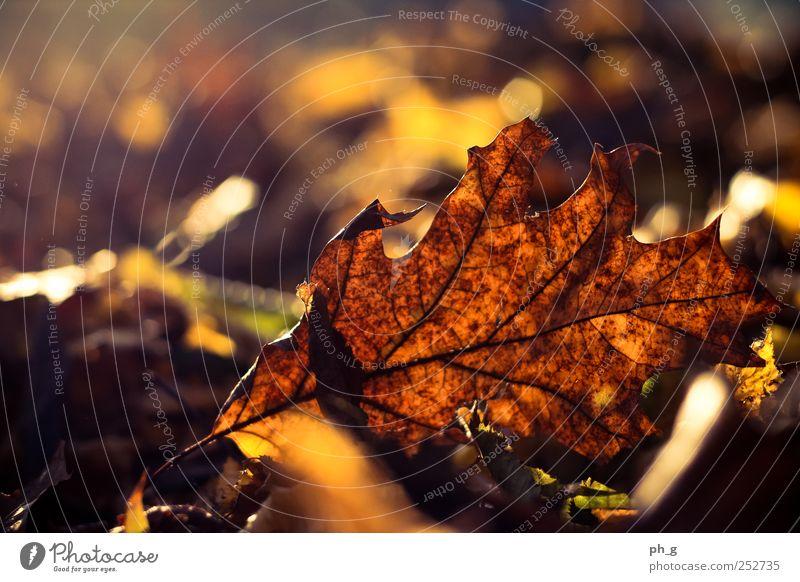 Natur schön Baum Pflanze Blatt gelb Herbst Park hell braun gold ästhetisch Schönes Wetter