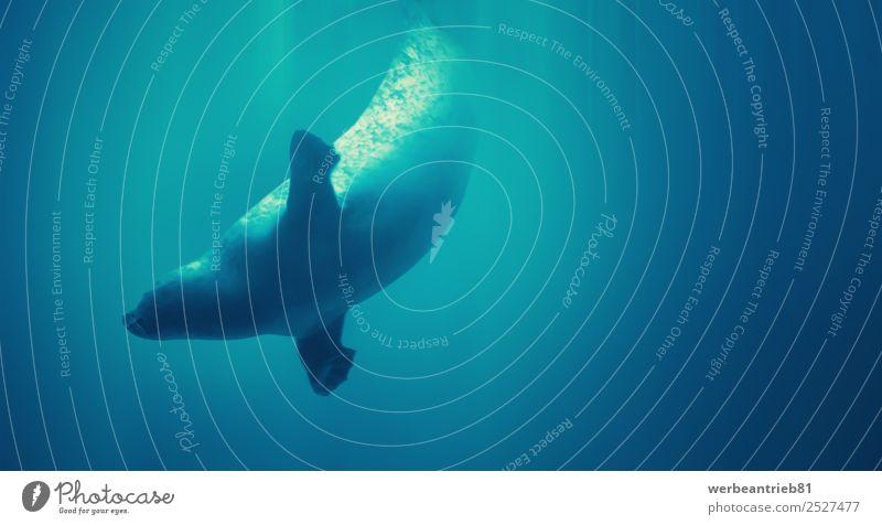 Tauchsiegel Leben Spielen Ferien & Urlaub & Reisen Sommer Meer tauchen Natur Tier Schwimmen & Baden niedlich wild blau Siegel Wasser marin Tierwelt Säugetier