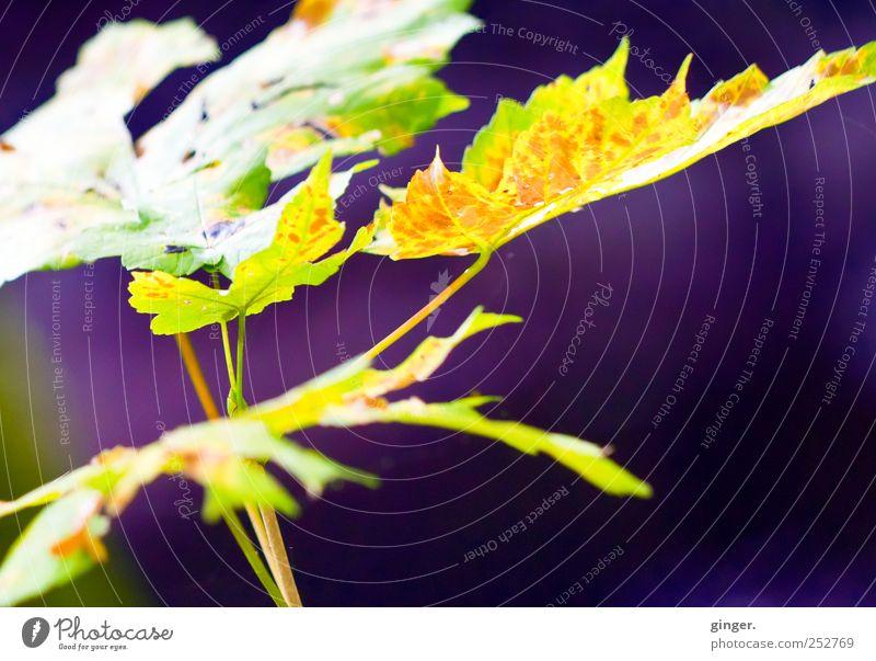Goldviolettrostrotgrüner Herbst [CHAMANSÜLZ 2011] Umwelt Natur Pflanze Sonne Baum Blatt Grünpflanze Wachstum Beleuchtung leuchten hell dunkel Ahorn Ahornblatt
