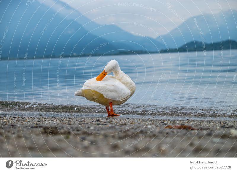 Entenyoga, die Zweite schön weiß Erholung Tier Einsamkeit ruhig außergewöhnlich See Zufriedenheit Wetter ästhetisch einzigartig niedlich nass Reinigen