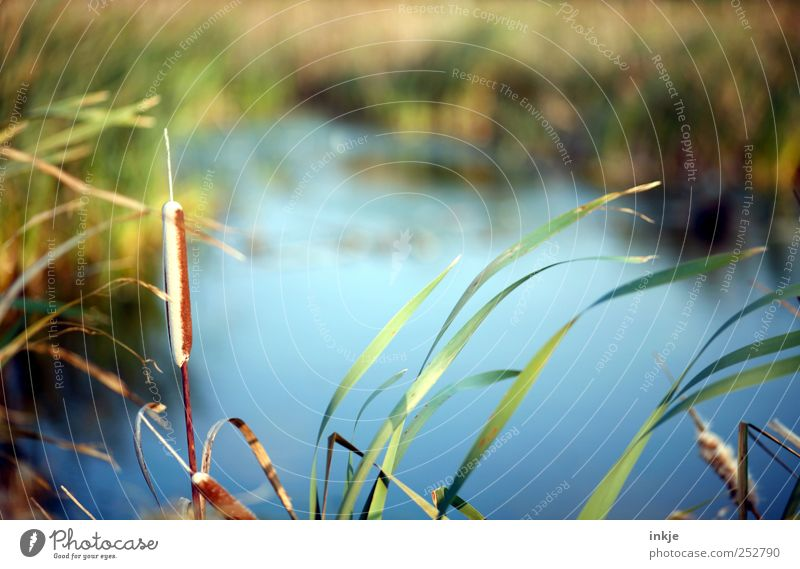 am See II Umwelt Natur Landschaft Pflanze Wasser Herbst Schönes Wetter Sträucher Schilfrohr Rohrkolben Park Wiese Seeufer Moor Sumpf Teich Menschenleer lang