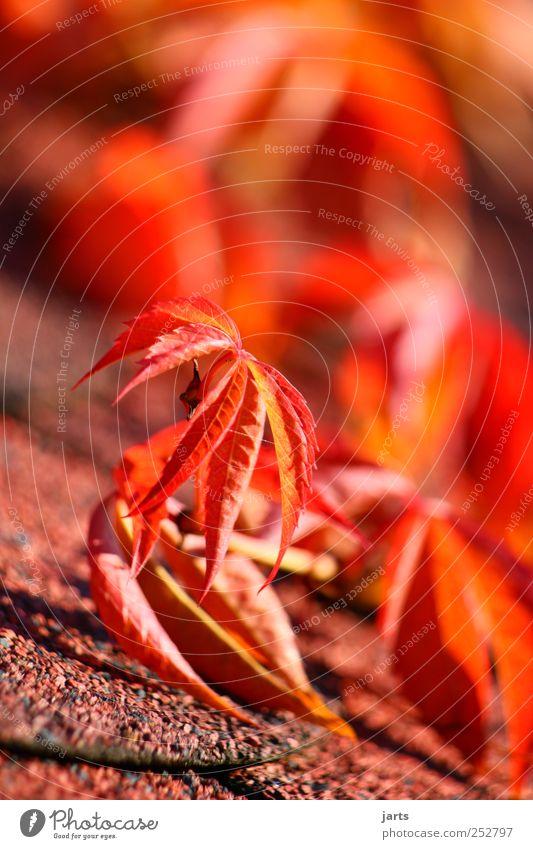 jahreszeit Umwelt Natur Pflanze Herbst Schönes Wetter Blatt frisch natürlich rot ruhig Wein Farbfoto mehrfarbig Außenaufnahme Detailaufnahme Menschenleer