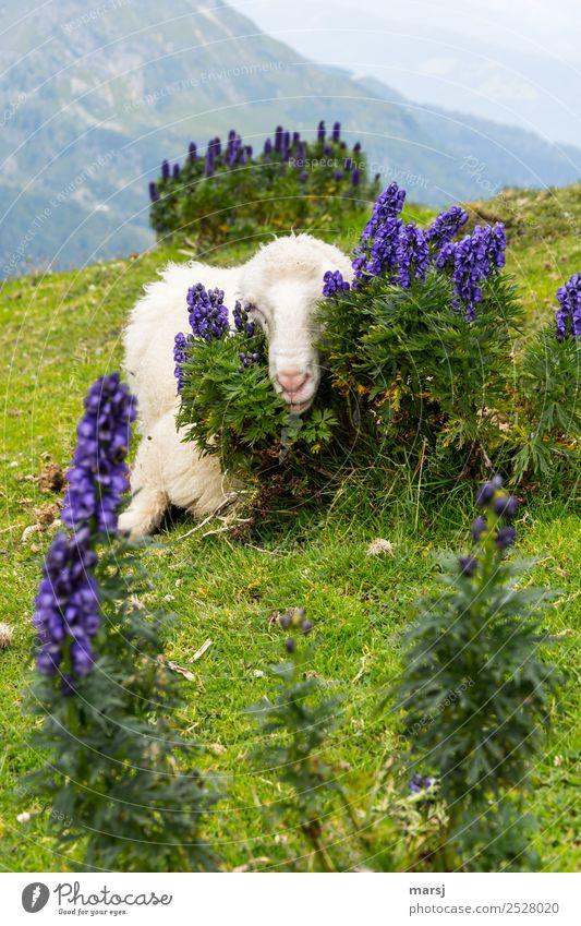 So schön kuschelig versteckt Natur Pflanze blau grün Erholung Tier Berge u. Gebirge Wiese Angst liegen Neugier Schutz Alpen Haustier verstecken Schaf