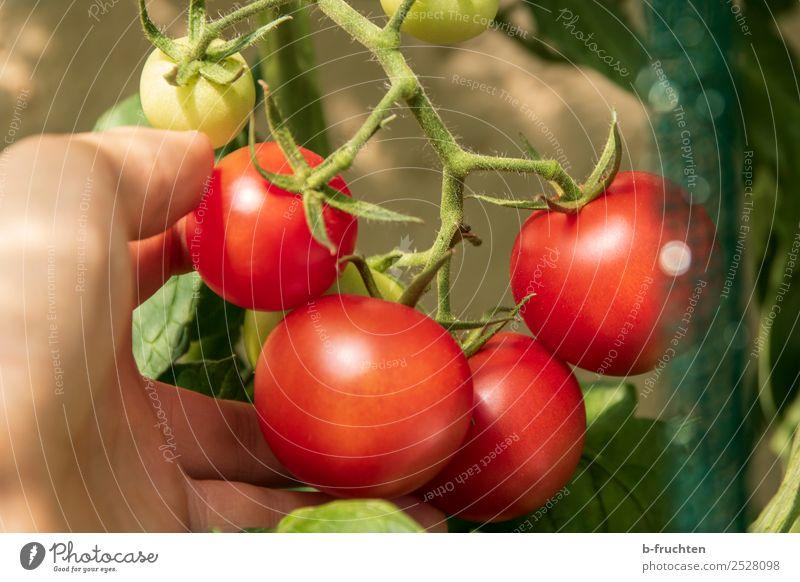 reife Tomaten an der Rispe Lebensmittel Gemüse Bioprodukte Gesunde Ernährung Landwirtschaft Forstwirtschaft Hand Finger Sommer Herbst Sträucher Nutzpflanze