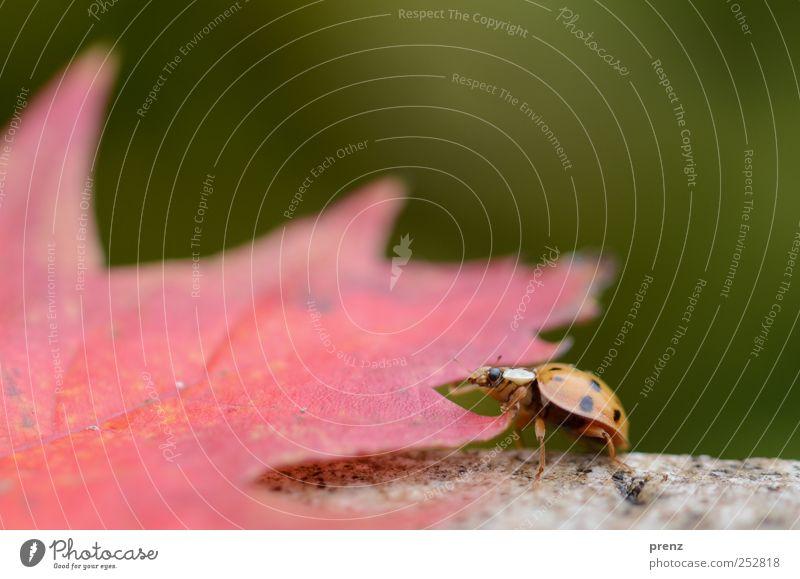Marienkäfer Natur Pflanze Tier Blatt Käfer 1 krabbeln grün rot Insekt Ahornblatt Makroaufnahme Farbfoto Außenaufnahme Menschenleer Textfreiraum rechts Tag