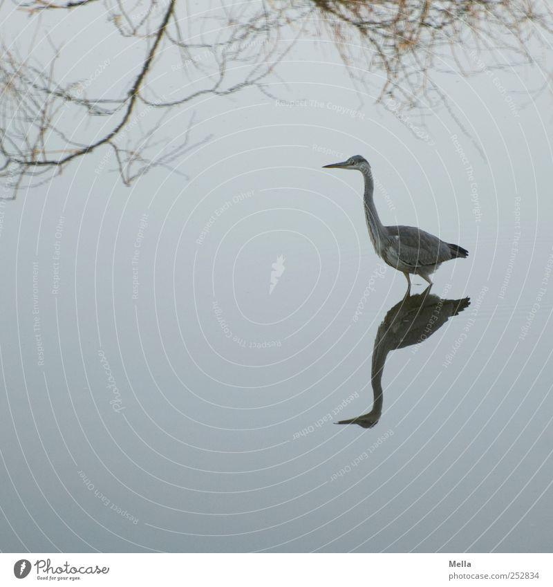 Reiherspiegel Umwelt Natur Landschaft Tier Wasser Ast Teich See Vogel Graureiher 1 gehen stehen ästhetisch schön natürlich blau Freiheit Reflexion & Spiegelung