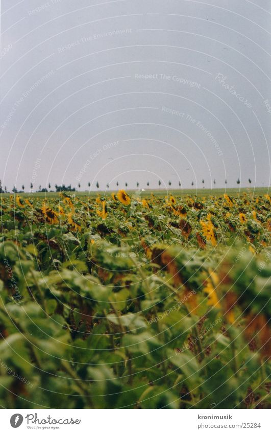 Sonnenblumenfeld Blume Feld Ferne