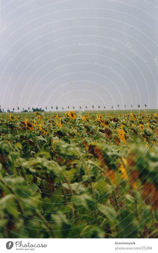 Sonnenblumenfeld Blume Ferne Feld