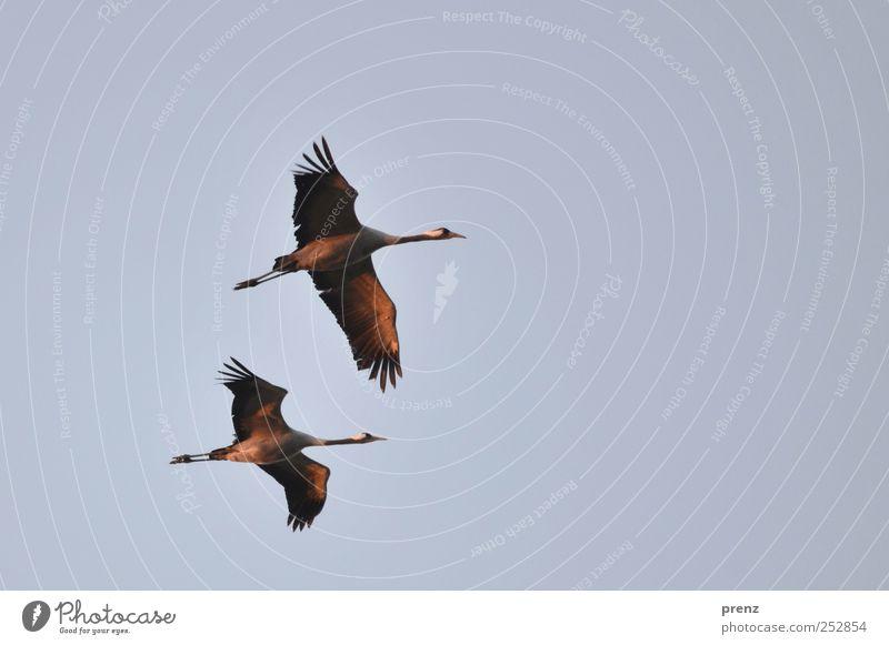 schön war es Himmel blau Tier 2 Vogel elegant fliegen Flügel Brandenburg Kranich